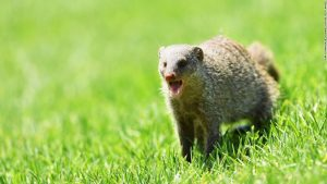 Mongoose party: Animals invade golf course