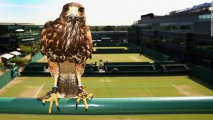 Why Rufus the Hawk rules the roost on Centre Court